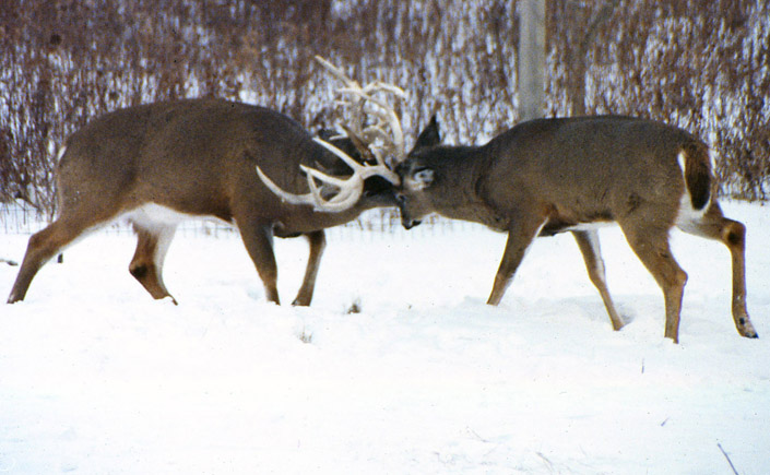 a whitetail bucks fall and winter calendar part ii dr nordberg on deer hunting