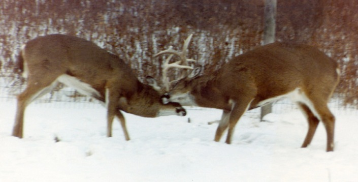 whitetail deer buck battle