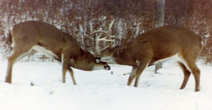 whitetail deer buck battle